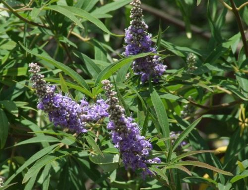 Vitex balances the inner masculine and feminine